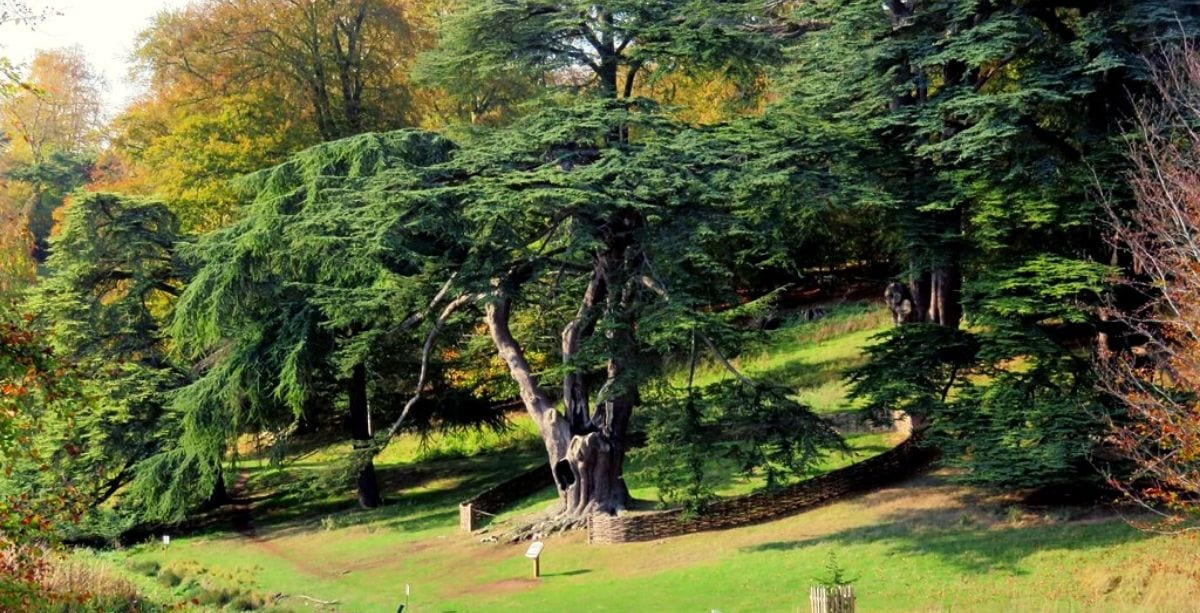 Lesser-Known Facts About the Cedar of Lebanon.