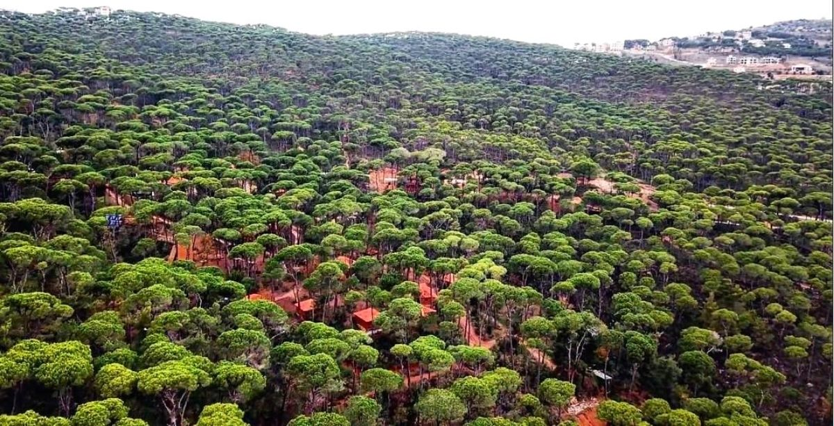 Lebanon's Lucrative Pine Nut Production Is On The Decline