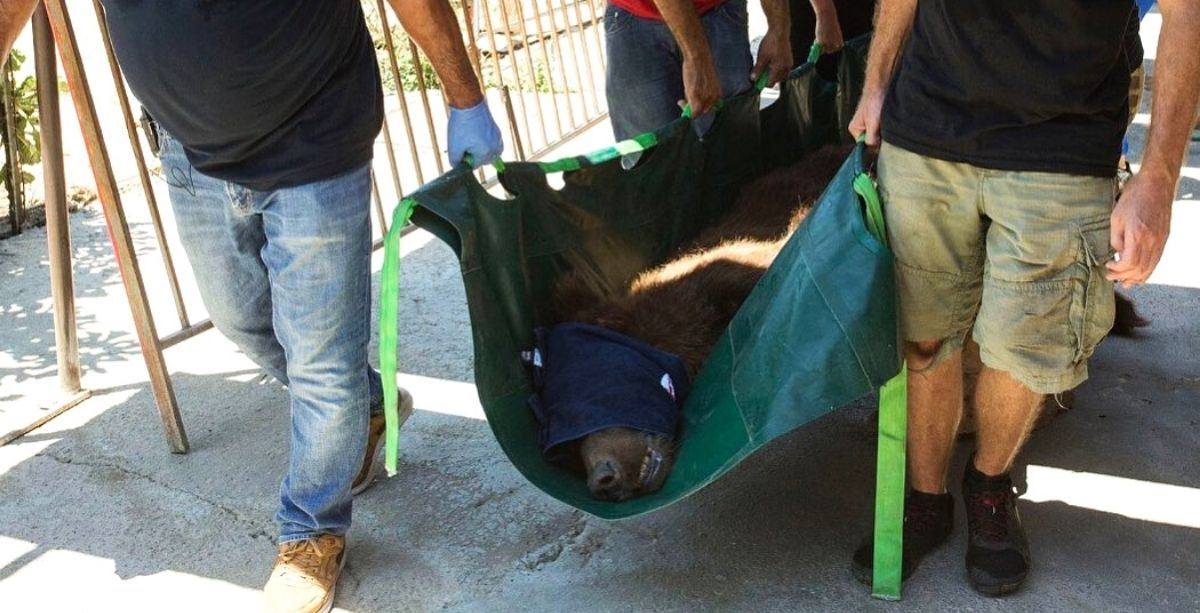 Endangered Bears Rescued From Lebanon Zoo To U.S.
