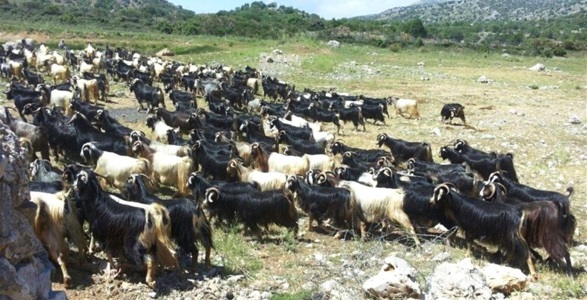 Israel Just Captured 300 Goats From Lebanon